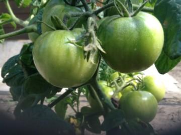 Зеленые помидоры – эффективное средство против варикозного расширения вен