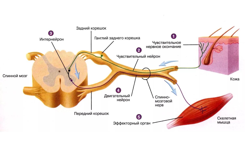 Причины и лечение неврита плечевого нерва