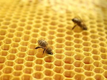 Лечение варикоза пчелами: особенности проведения процедуры