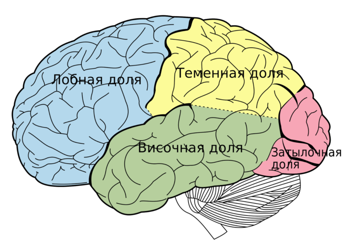 Доли головного мозга